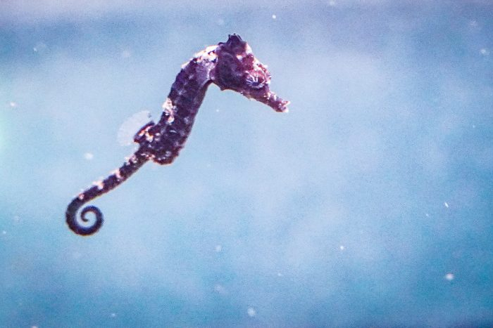 Baby lined seahorse
