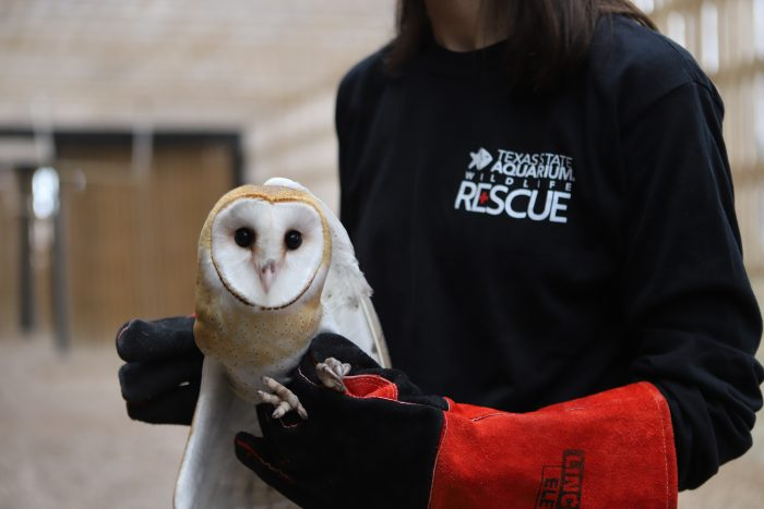 Rescued barn owl at Wildlife Rescue Center