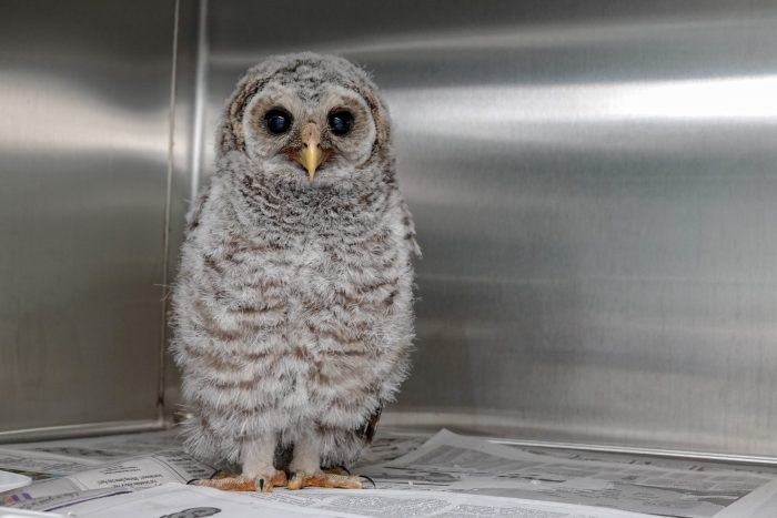 Baby barred owl in Wildlife Rescue
