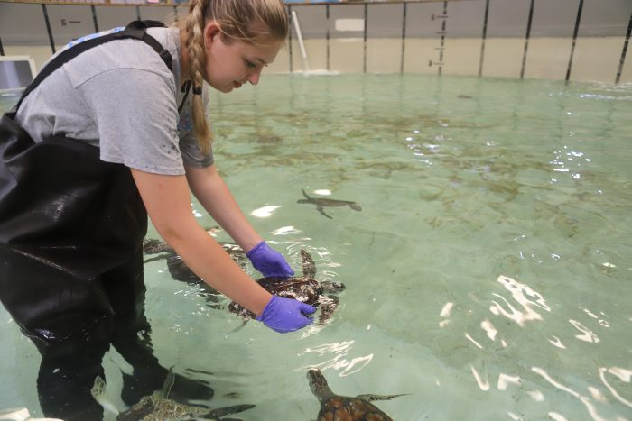 Stranded sea turtle in rehab pool at Wildlife Rescue