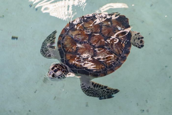 Rescued sea turtle at Wildlife Rescue