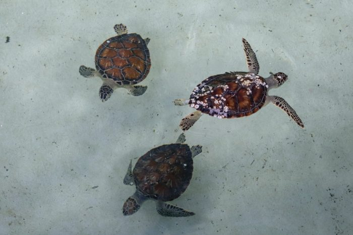 Rescued sea turtles in rehab pool at Wildlife Rescue