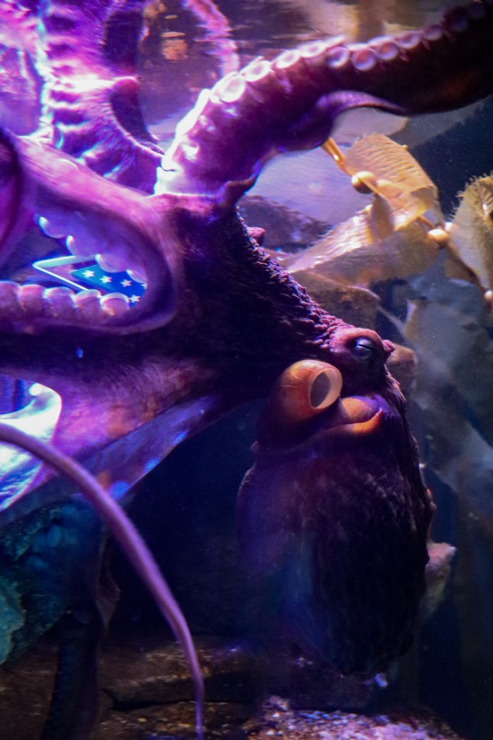 Octopus interacts with enrichment