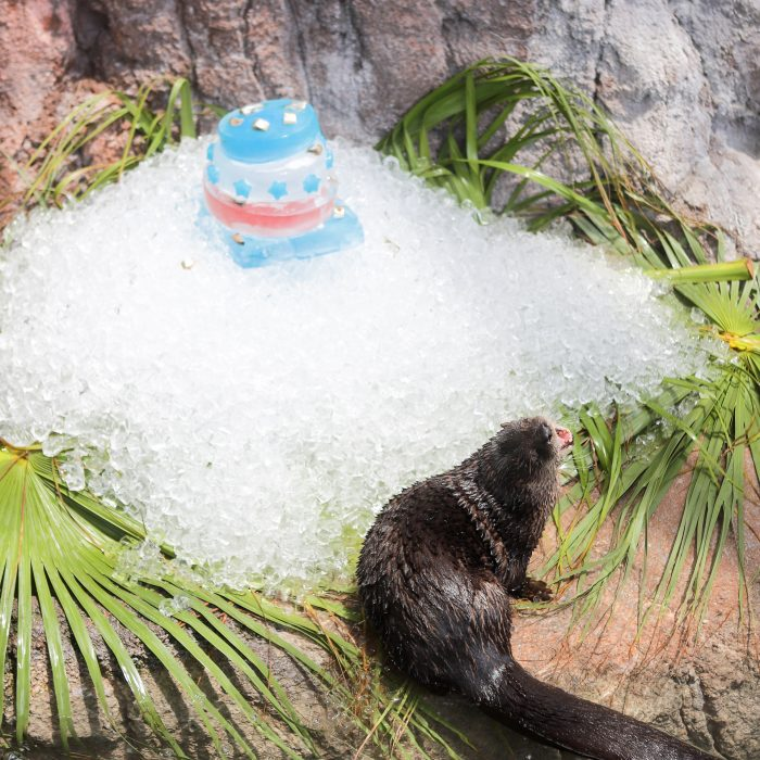 "Otters receive ice and gelatin ""cake"" as enrichment"