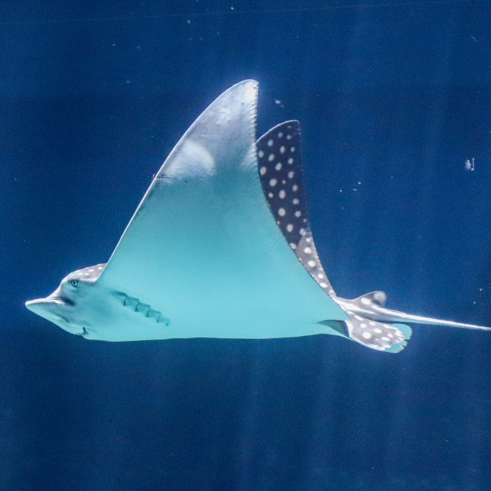 "Spotted eagle ray ""Reina"""
