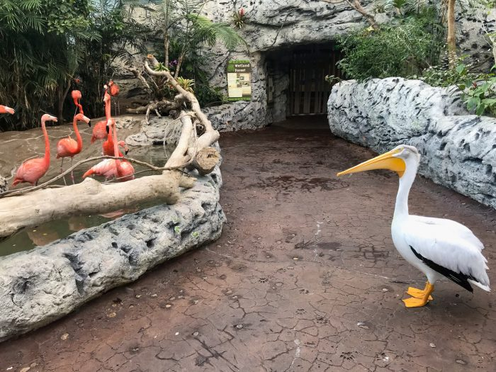 "Rescued pelican ""Amos"" explores jungle for enrichment"