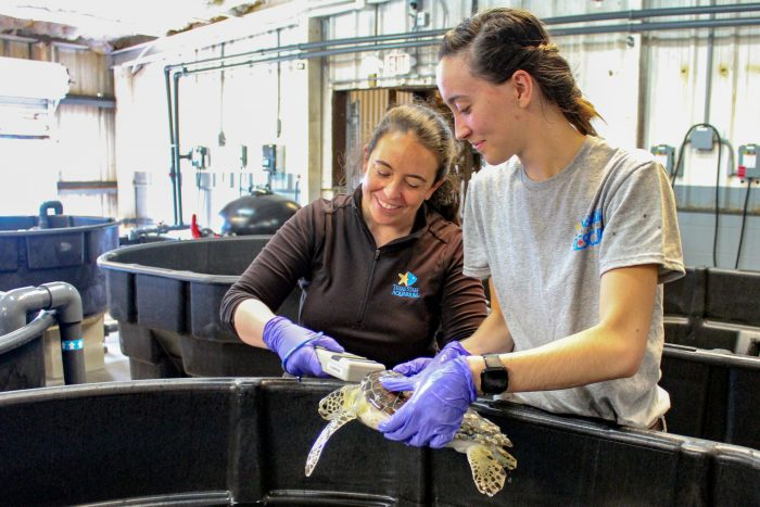 Sea turtles scanned for PIT tags at Wildlife Rescue