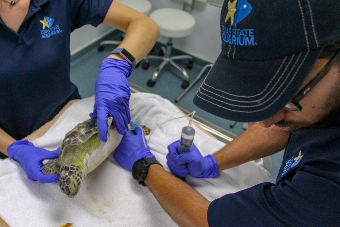 Sea turtles treated by staff at Wildlife Rescue