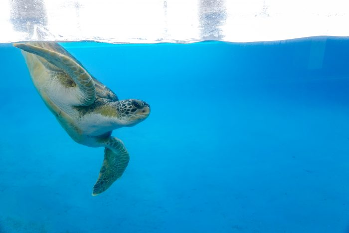 "Rescued green sea turtle in ""Tortuga Cay"""