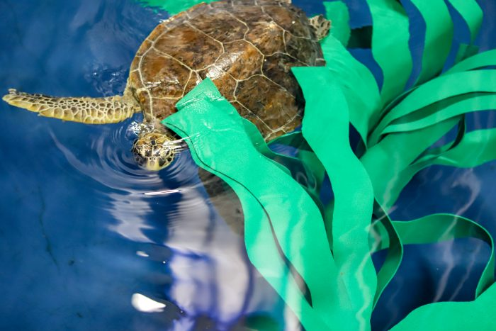 Rescued sea turtles interacts with enrichment
